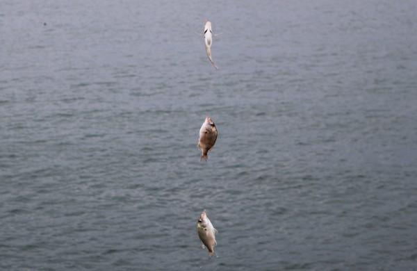 チダイの3匹釣り