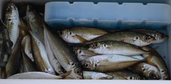 アジを中心に釣った魚達