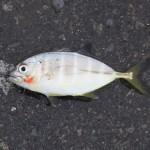 3日連続で田子の浦港堤防釣り