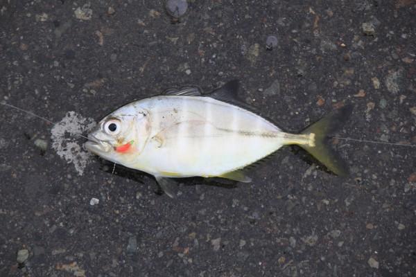 ミナミギンガメアジ